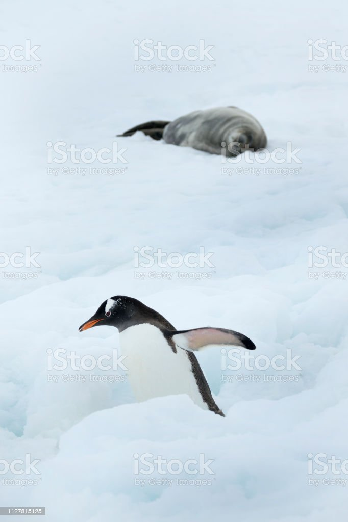 Gentoo penguin walks past weddell seal Danco Island Antarctica Gerlache Strait stock photo
