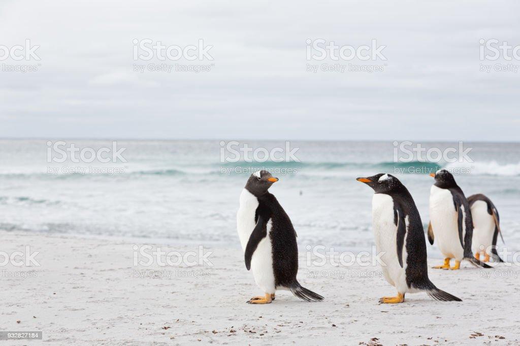 Gentoo Penguins (Pygoscelis papua) at the beach on Falkland Islands stock photo