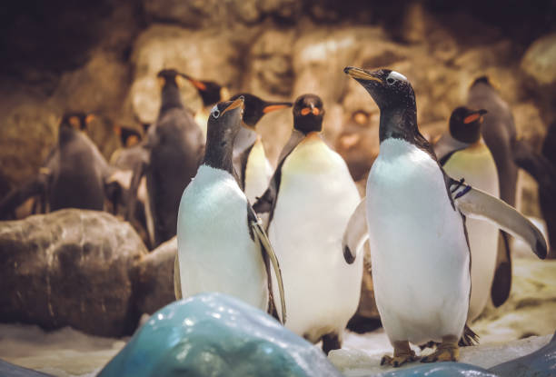 Gentoo penguins in the zoo stock photo