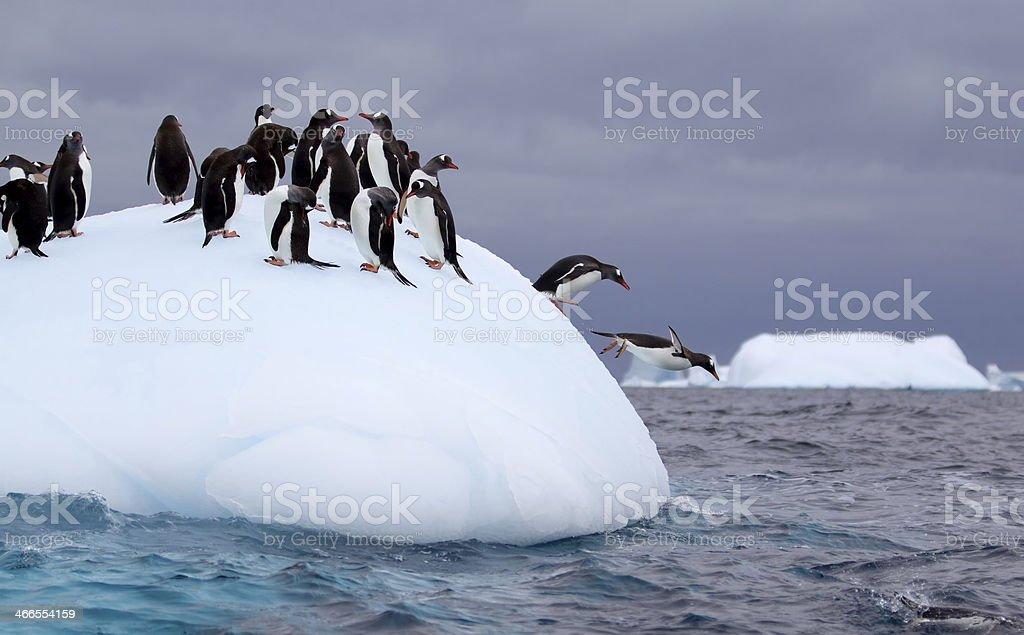 Gentoo Penguins Jumping off an Iceberg in Antarctic Waters圖像檔