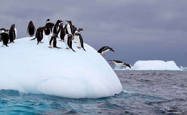 Gentoo Penguins Jumping off an Iceberg in Antarctic Waters stock photo