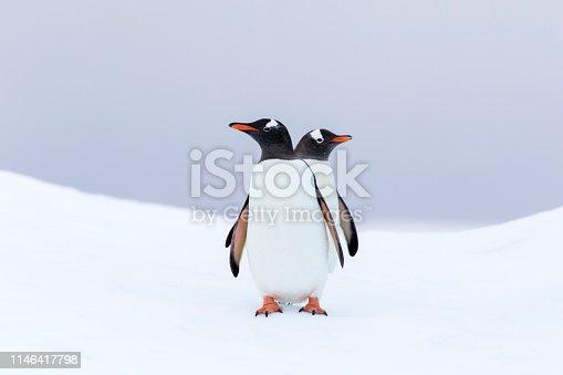 Two Gentoo penguins, (Pygoscelis papua) on an iceberg in Paradise Harbor, Antarctic Peninsula