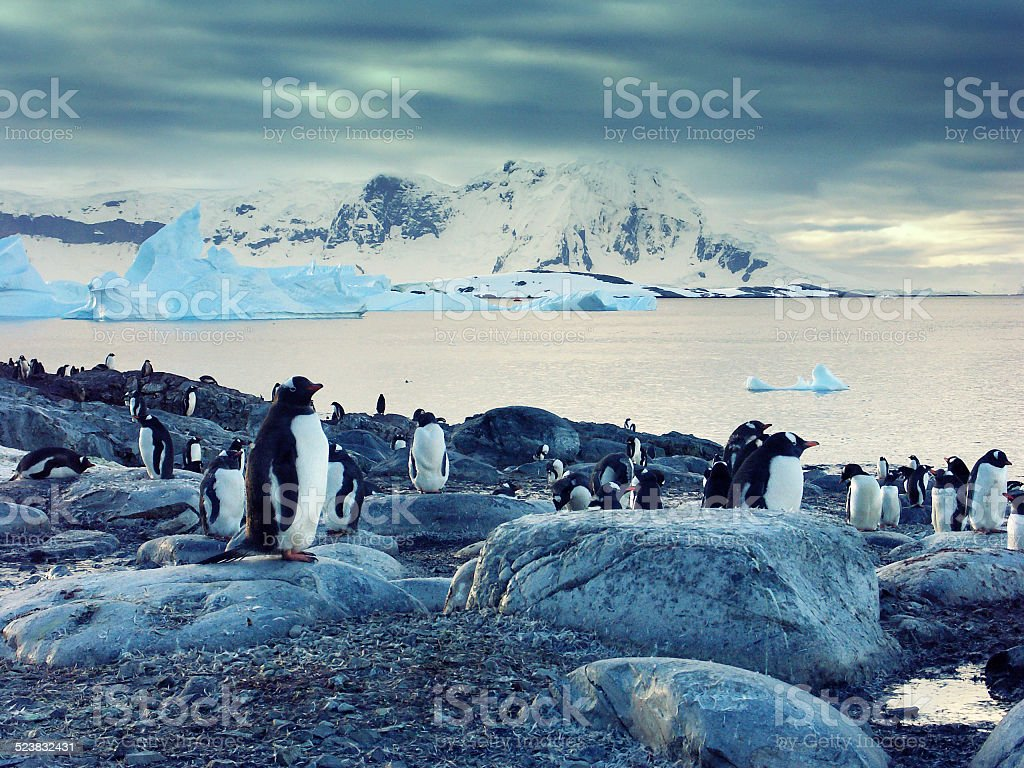 Gentoo penguins on the Antarctic Peninsula stock photo
