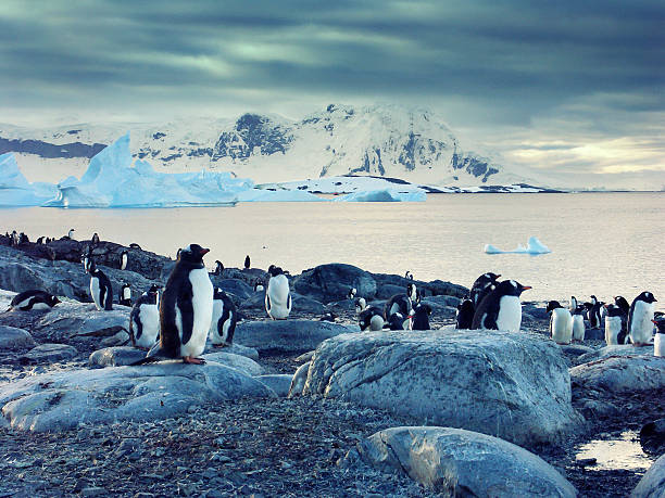 Gentoo penguins on the Antarctic Peninsula stock photo