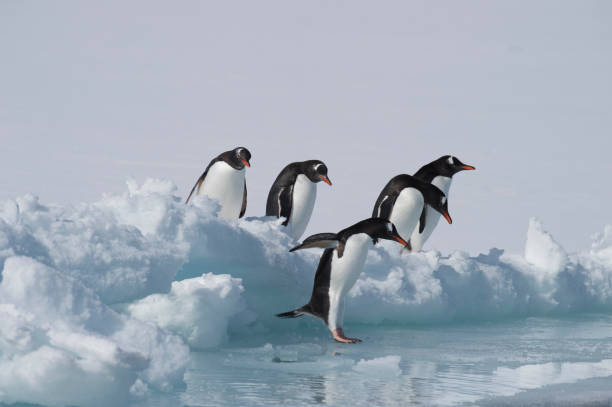Gentoo Penguins on the ice stock photo