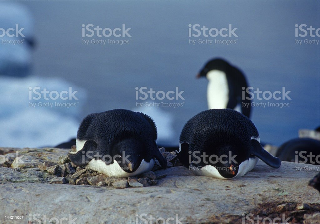 Gentoo penguins royalty-free stock photo