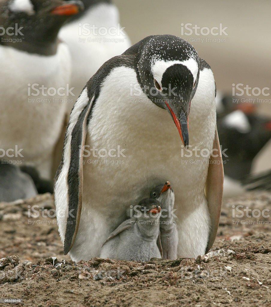 Gentoo penguins (Pygoscelis papua) royalty-free stock photo