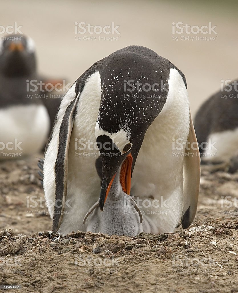 Gentoo penguins (Pygoscelis papua) royalty-free stock photo