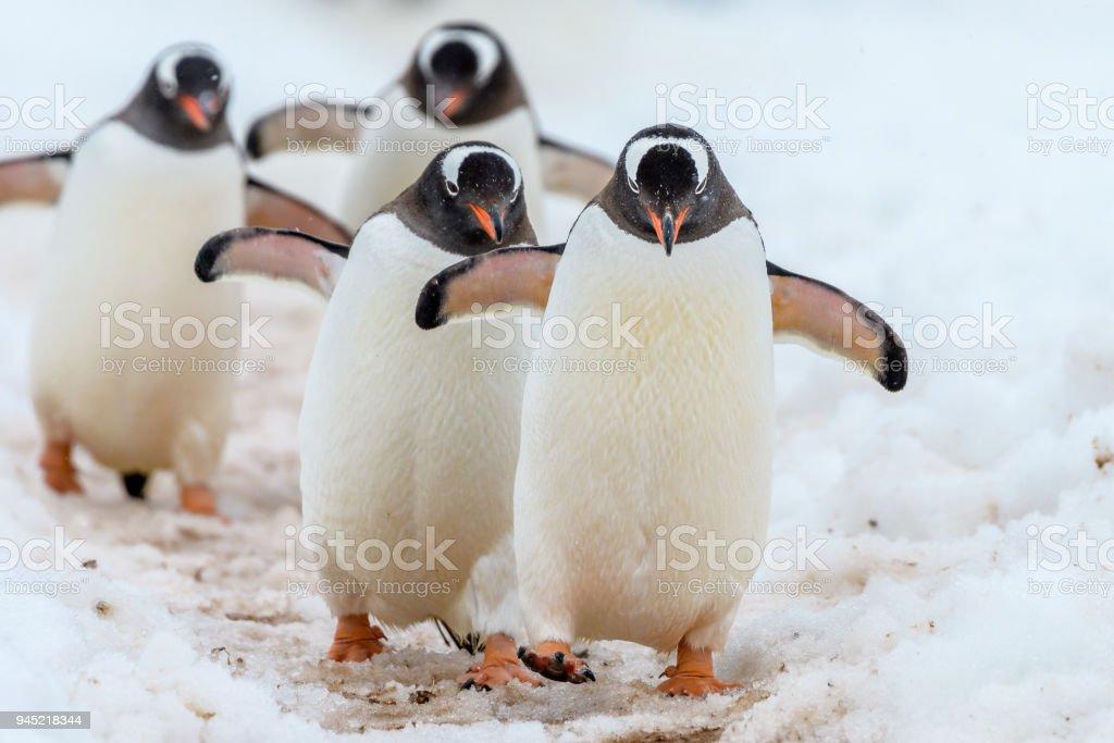Gentoo Penguins walking down the highway stock photo