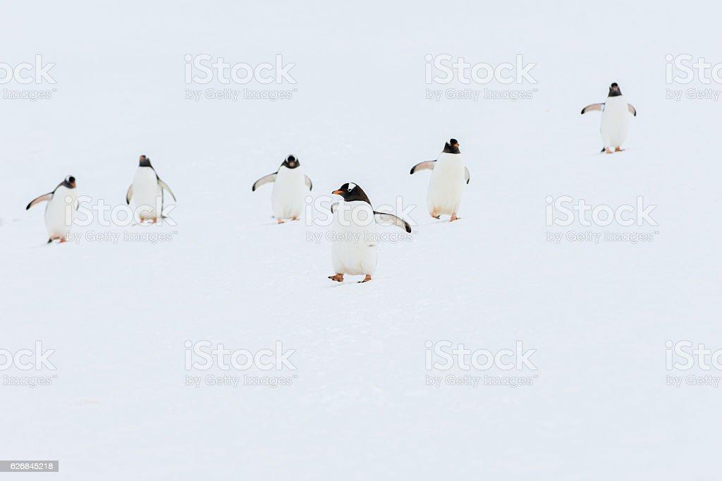 Gentoo penguins walking in snow in Antarctica stock photo