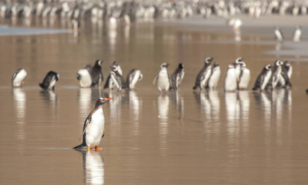 gentoo penguins walking on a beach in Falkland Islands stock photo