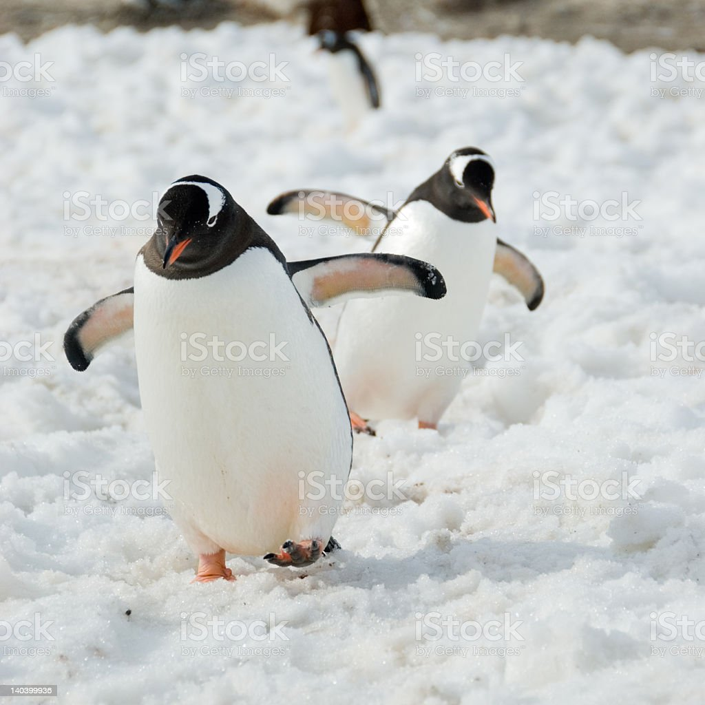Gentoo penguins walking on snow stock photo