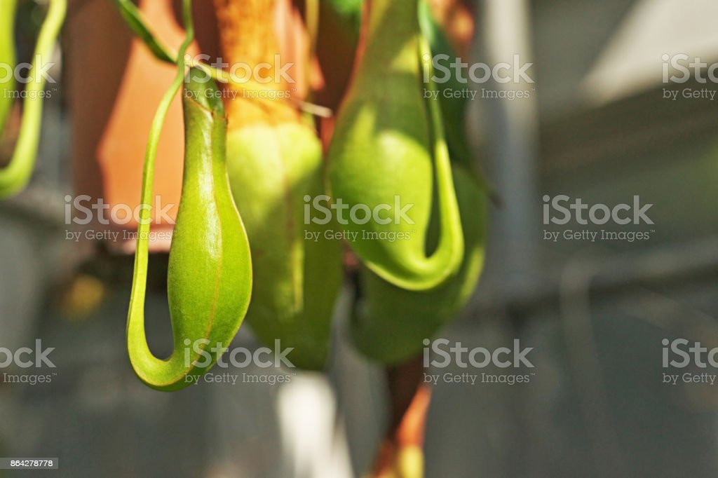 Genus nepenthes royalty-free stock photo