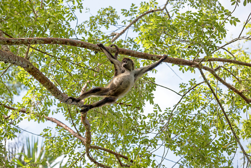 Geoffroys Spider Monkey Stock Photo - Download Image Now