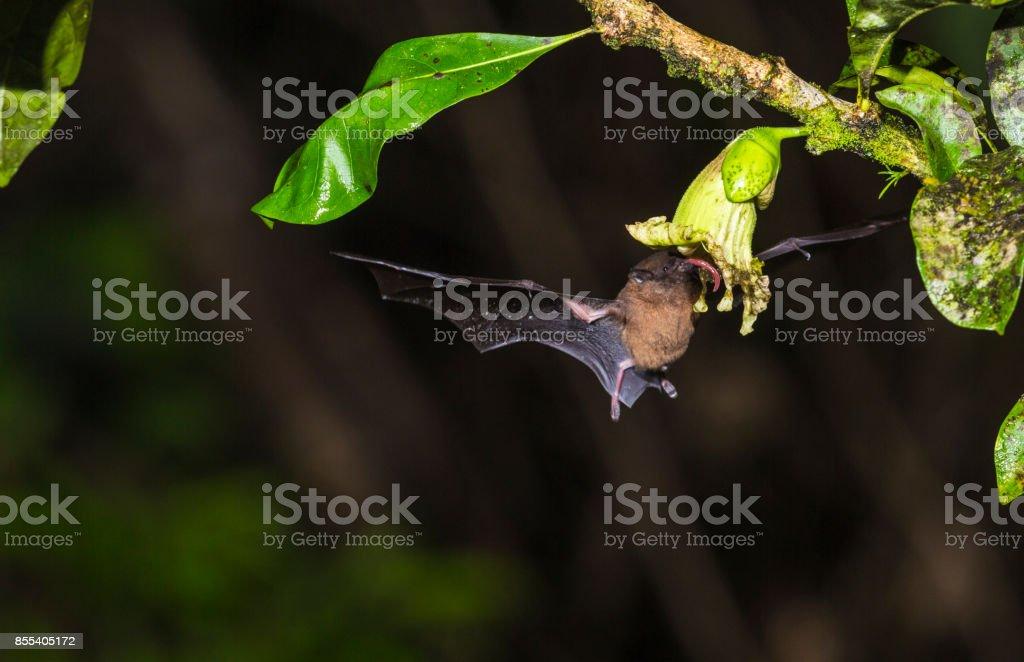 Geoffroy's tailless bat, Anoura geoffroyi stock photo