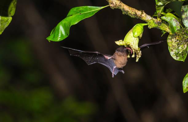 staartloze ingekorven vleermuis, anoura geoffroyi - bestuiving stockfoto's en -beelden