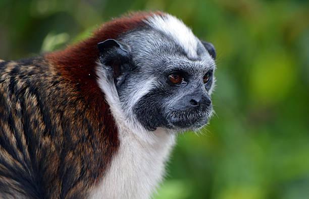 geoffroy's tamarin face close up - tamarin photos et images de collection