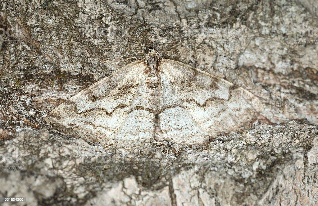 Geometer moth camouflaged on wood stock photo