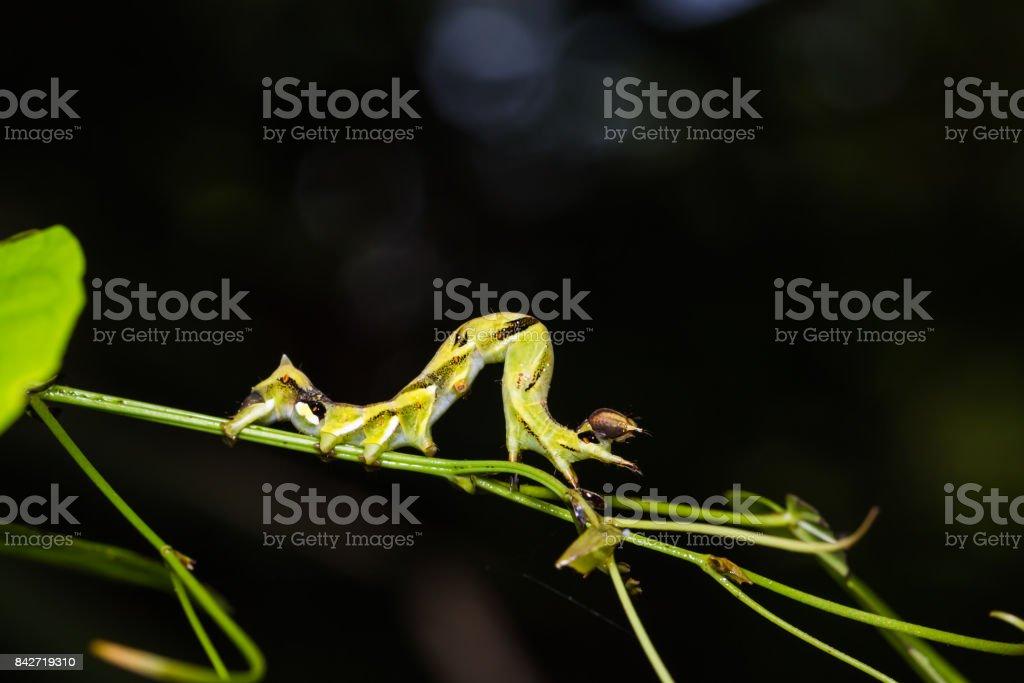 Geometer moth caterpillar stock photo