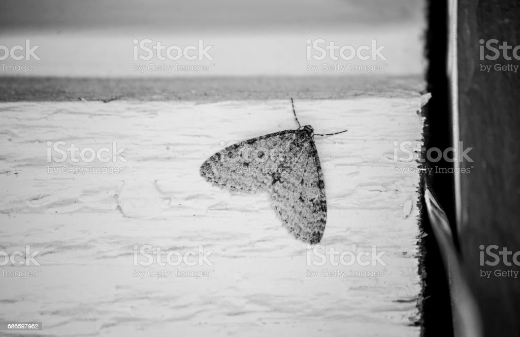 Geometer moth royalty-free stock photo