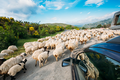 Georgia Caucasus Back View From Car Window Of Flock Of Sheep Moving Along Highway In Rural Highlands
