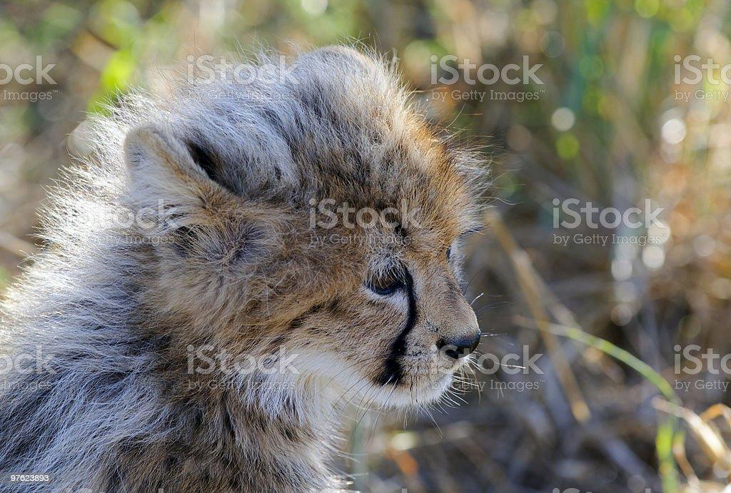 Gepard - Cheetah royaltyfri bildbanksbilder