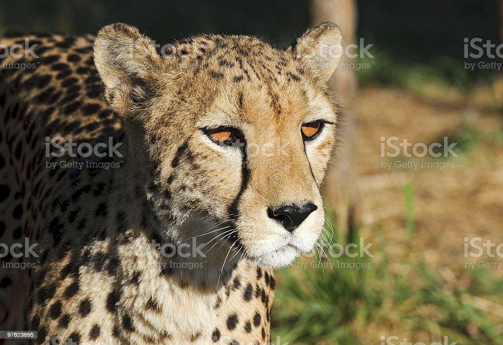 Gepard - Cheetah royalty-free stock photo