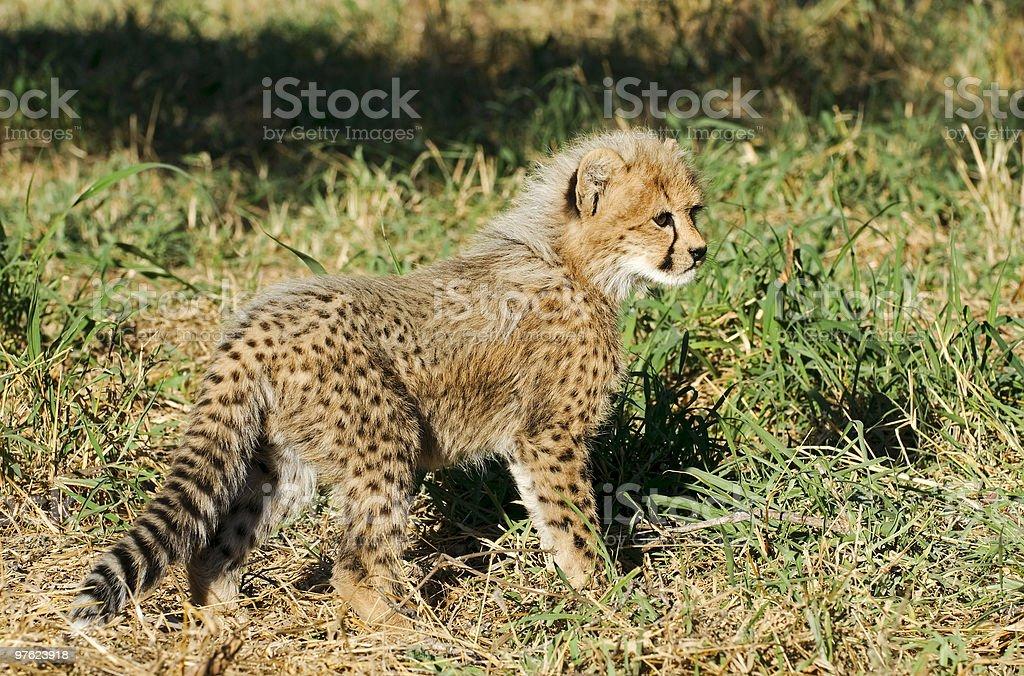 Gepard Junges - Cheetah cub royaltyfri bildbanksbilder