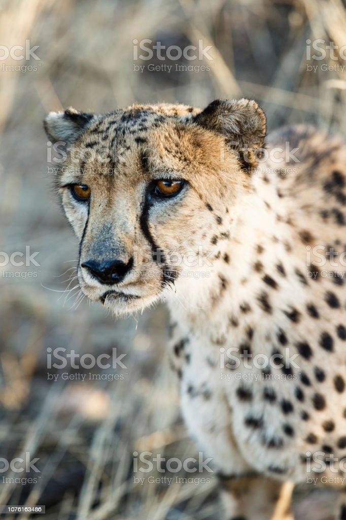 Gepard (Acinonyx Jubatus) – Foto
