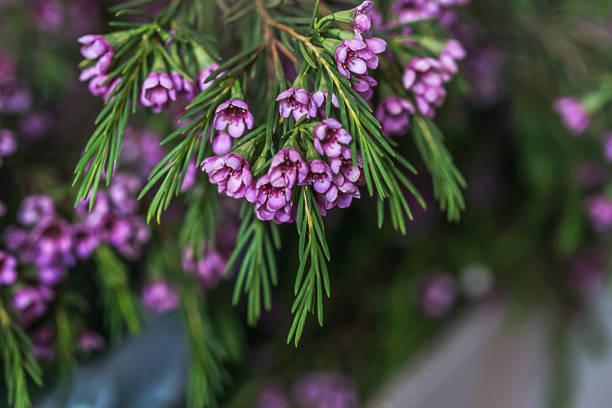 geraldton wachs blumen (chamelaucium uncinatum) - wachsblume stock-fotos und bilder