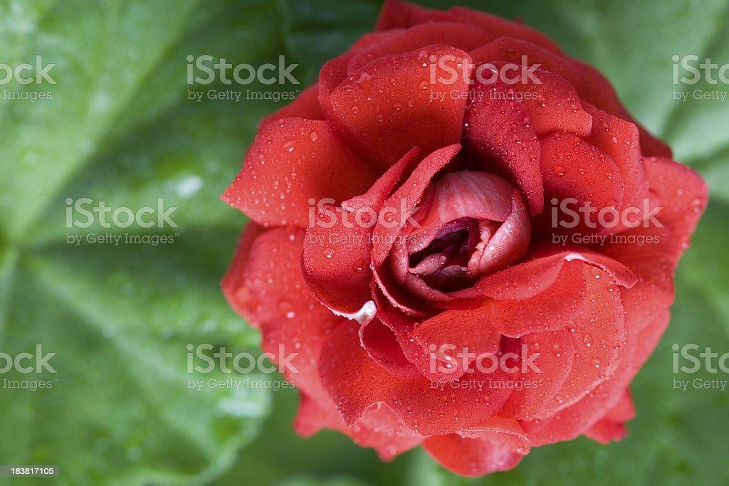 Geranium as rose stock photo