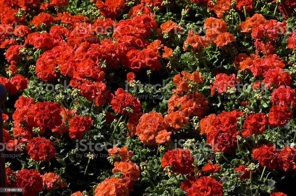 Geranium. Color Image royalty-free stock photo