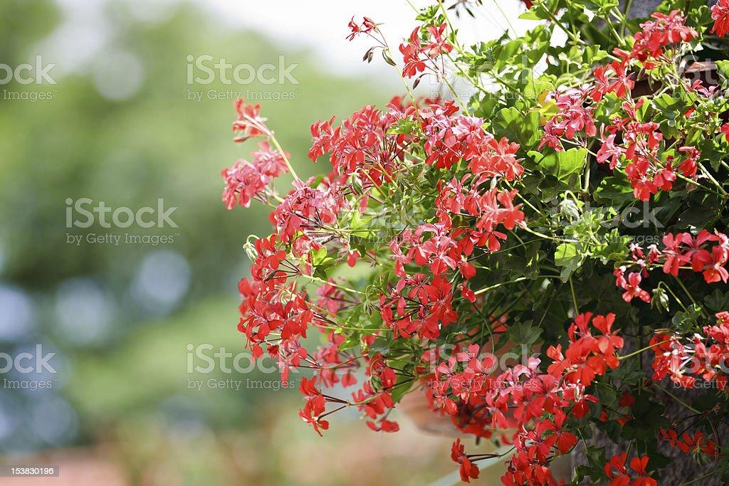 Geranium flower hanging in garden in summer.