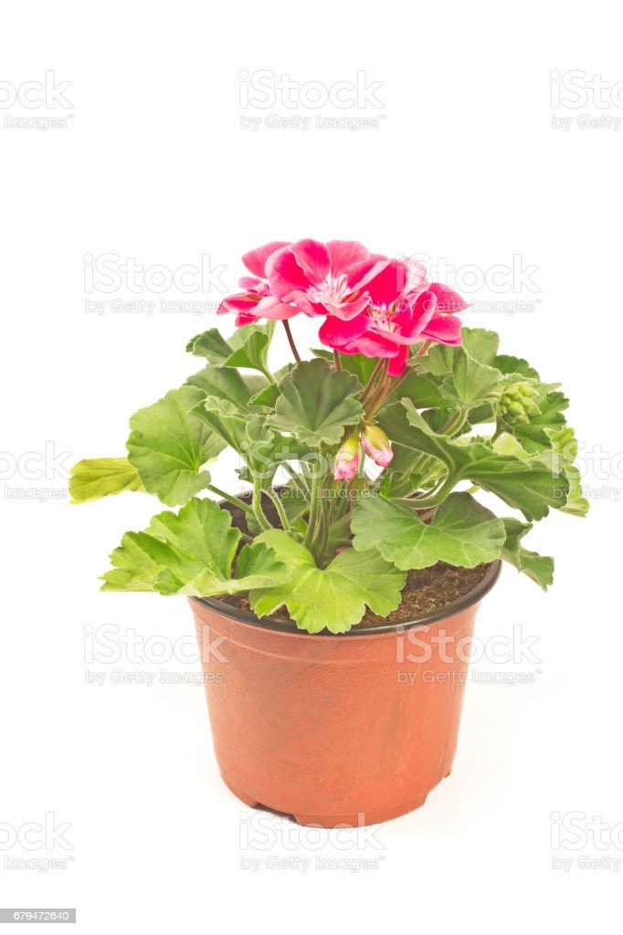 Geranium flower in pot isolated on white 免版稅 stock photo