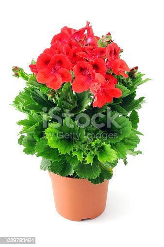 Geranium flowerpot on white background. red.