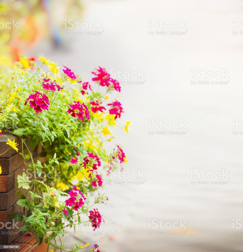 Geranie Blumen flowerbed Straße Asphalt Hintergrund unscharf, verwischt, wählen Sie – Foto