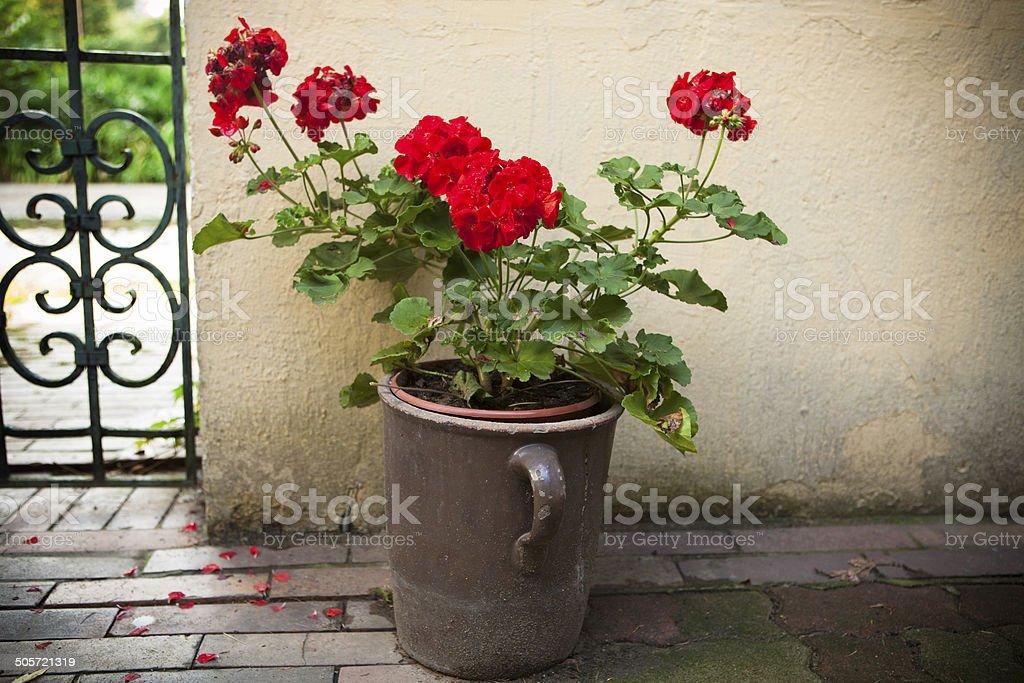 Geranium in clay pot stock photo