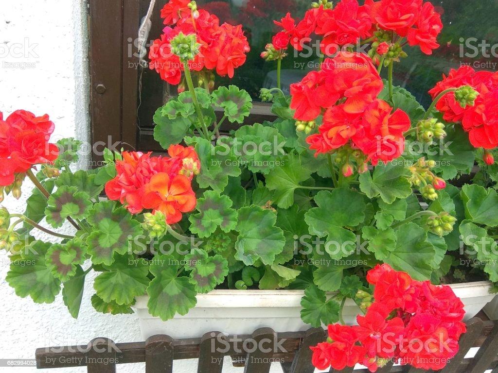 Geranium in the window royalty-free stock photo
