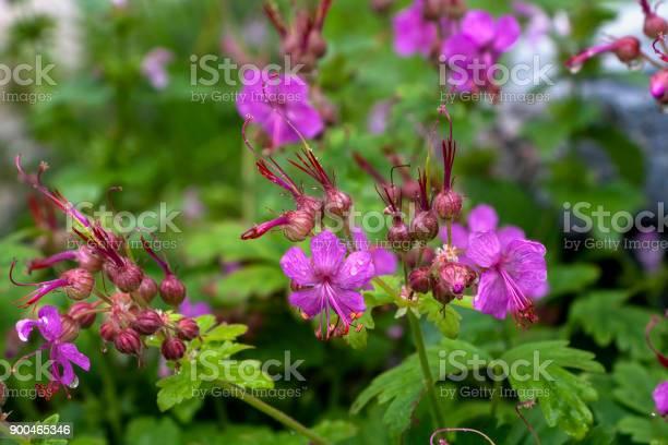 Geranium macrorrhizum cranes bill in bloom picture id900465346?b=1&k=6&m=900465346&s=612x612&h=ckaxubxl9jjjycxmx1mipi8cjhd8s2tha83u5vnypuu=