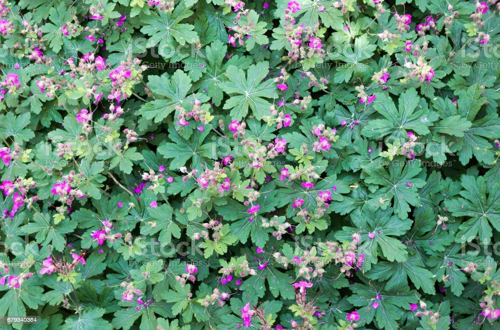 Geranium  macrorrhizum  flowers stock photo