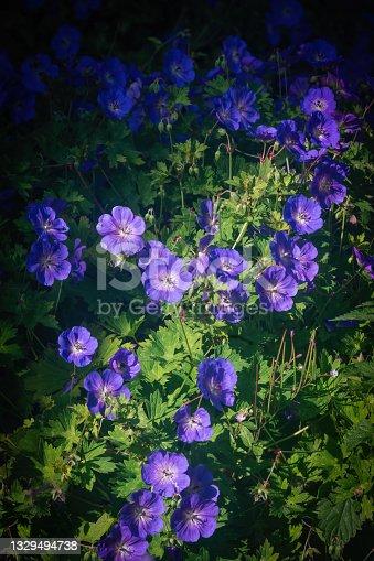 istock Geranium Magnificum flower blossoms in summer 1329494738