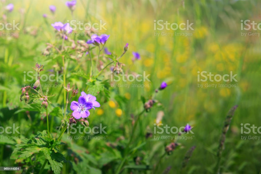 Geranium meadow in sunset light zbiór zdjęć royalty-free