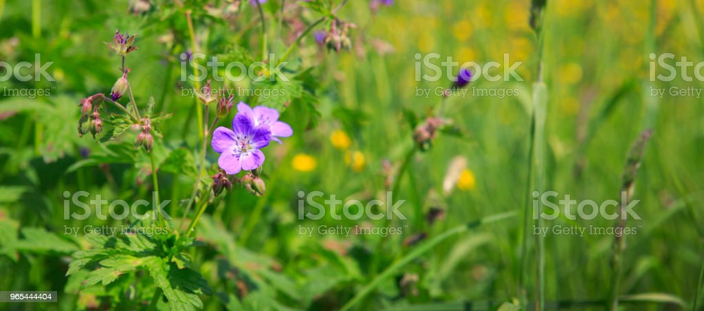 Geranium meadow in sunset light royalty-free stock photo