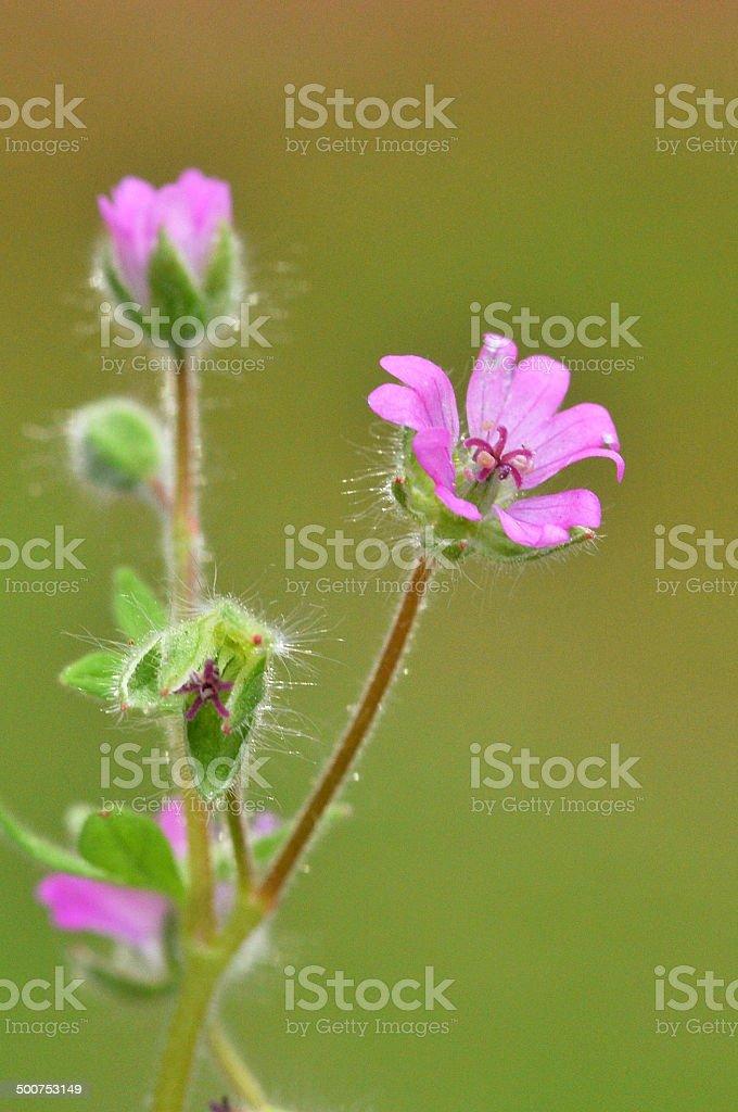 geranium molle stock photo