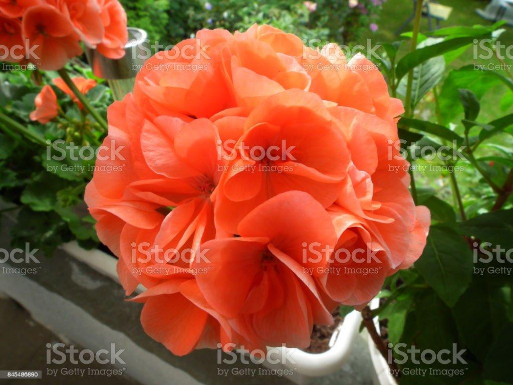 geranium orange flower stock photo