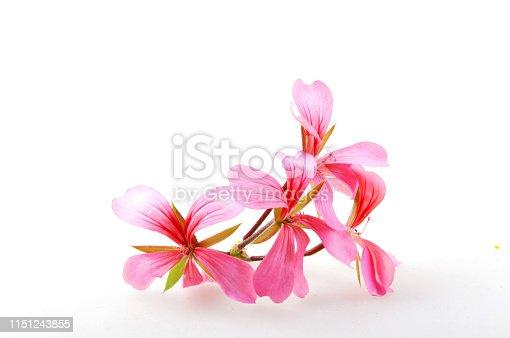 Geranium Pelargonium Flowers Isolated On White