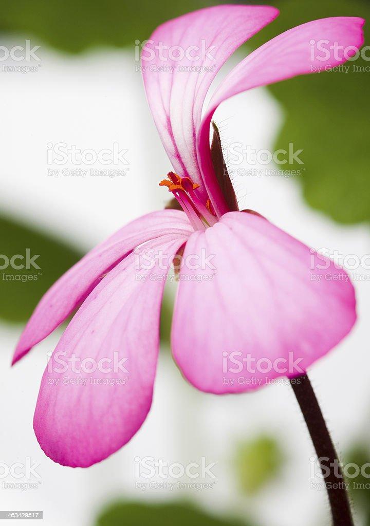 Geranium stock photo