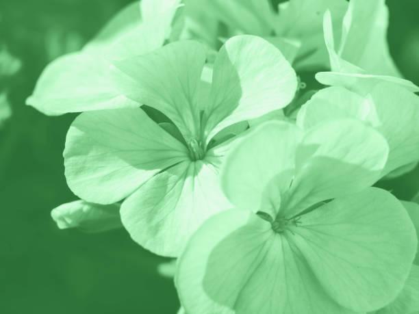 Geranium pink flower macro shot. Green mint stock photo