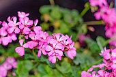 Geranium pink flowers are on the windowsill. Naturai Background.
