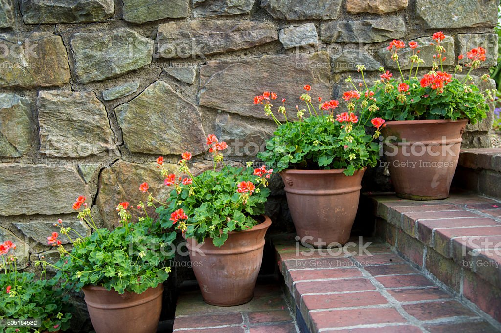 Geranium pots stock photo